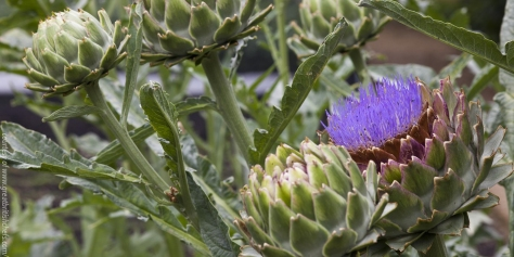 Artichokes_Flowering
